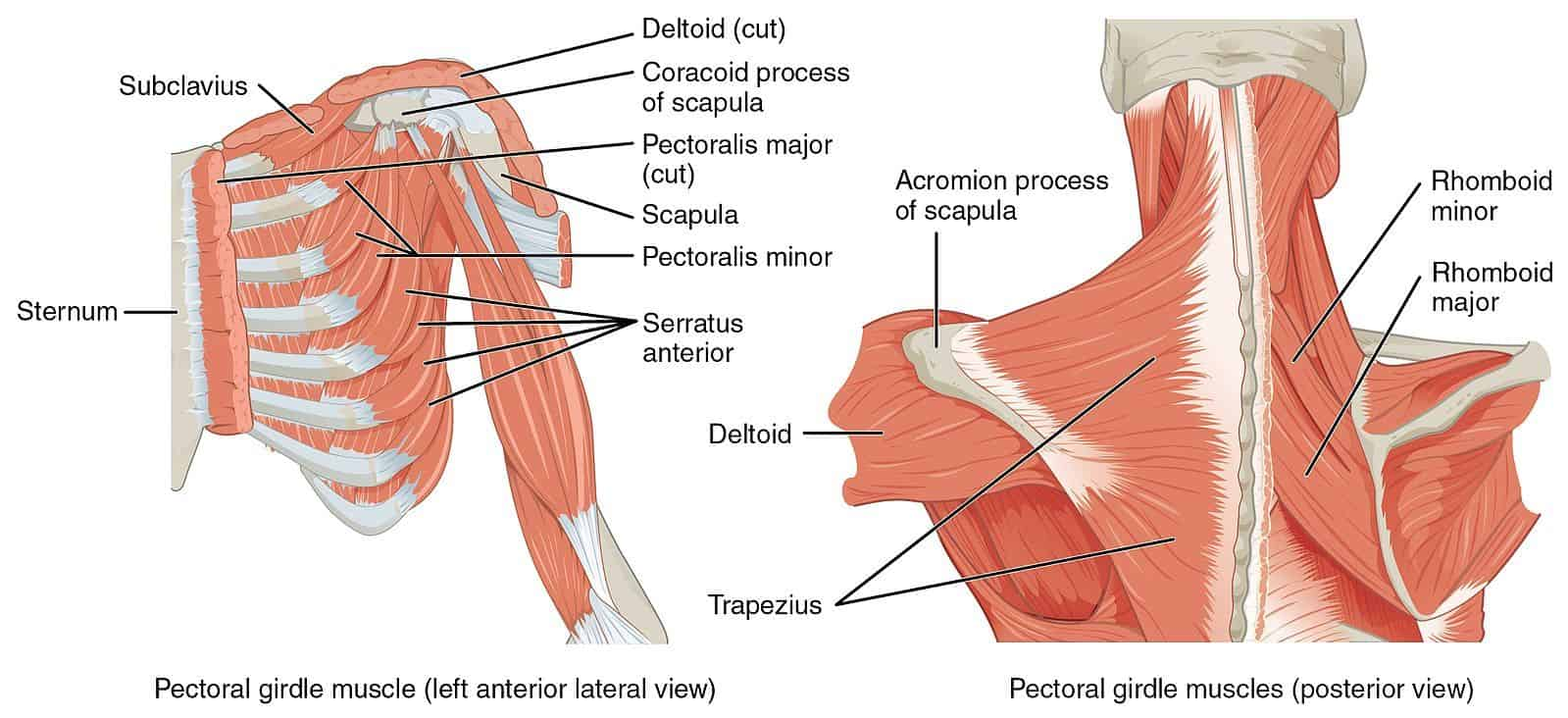 Shoulder Anatomy Diagram from Wikimedia Commons